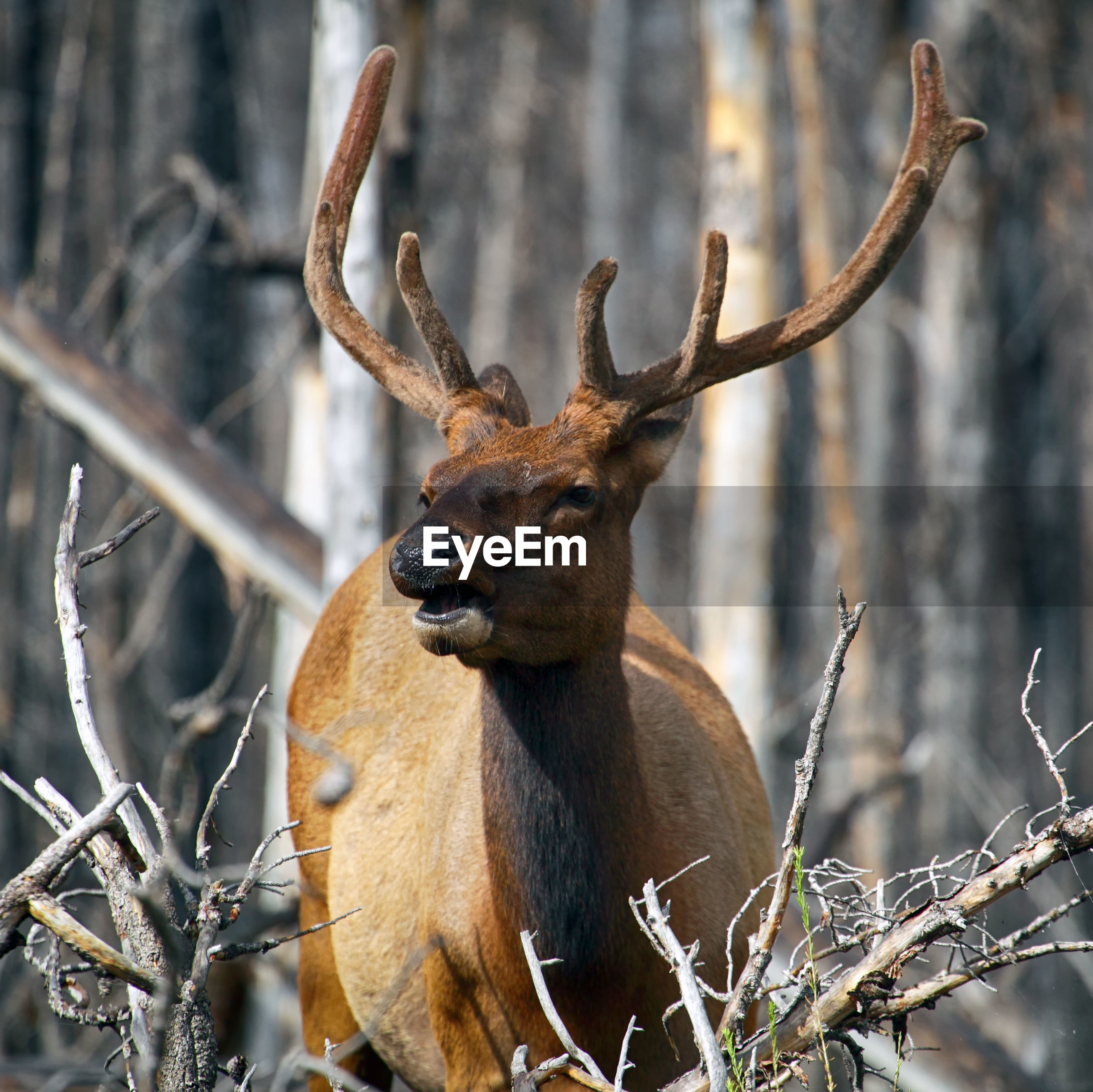 Close-up of elk looking away standing in forest