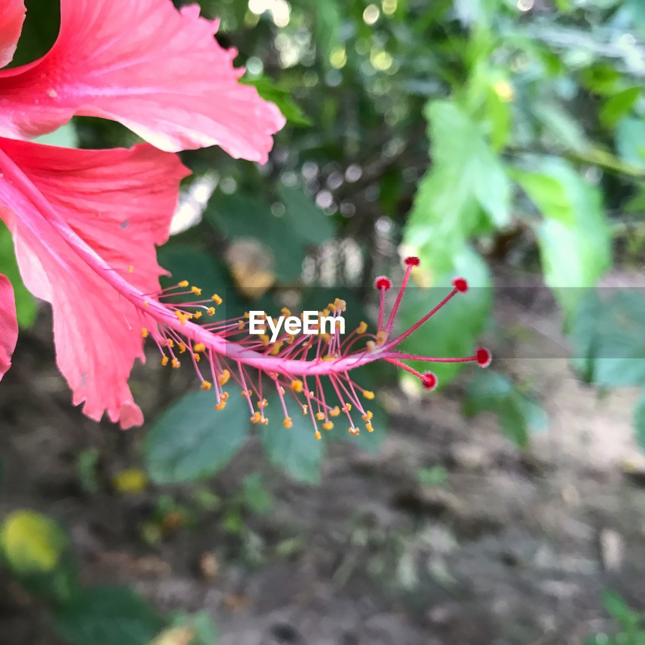 growth, nature, fragility, flower, petal, plant, close-up, beauty in nature, red, day, outdoors, no people, leaf, focus on foreground, pink color, freshness, flower head, one animal, animals in the wild, hibiscus, animal themes