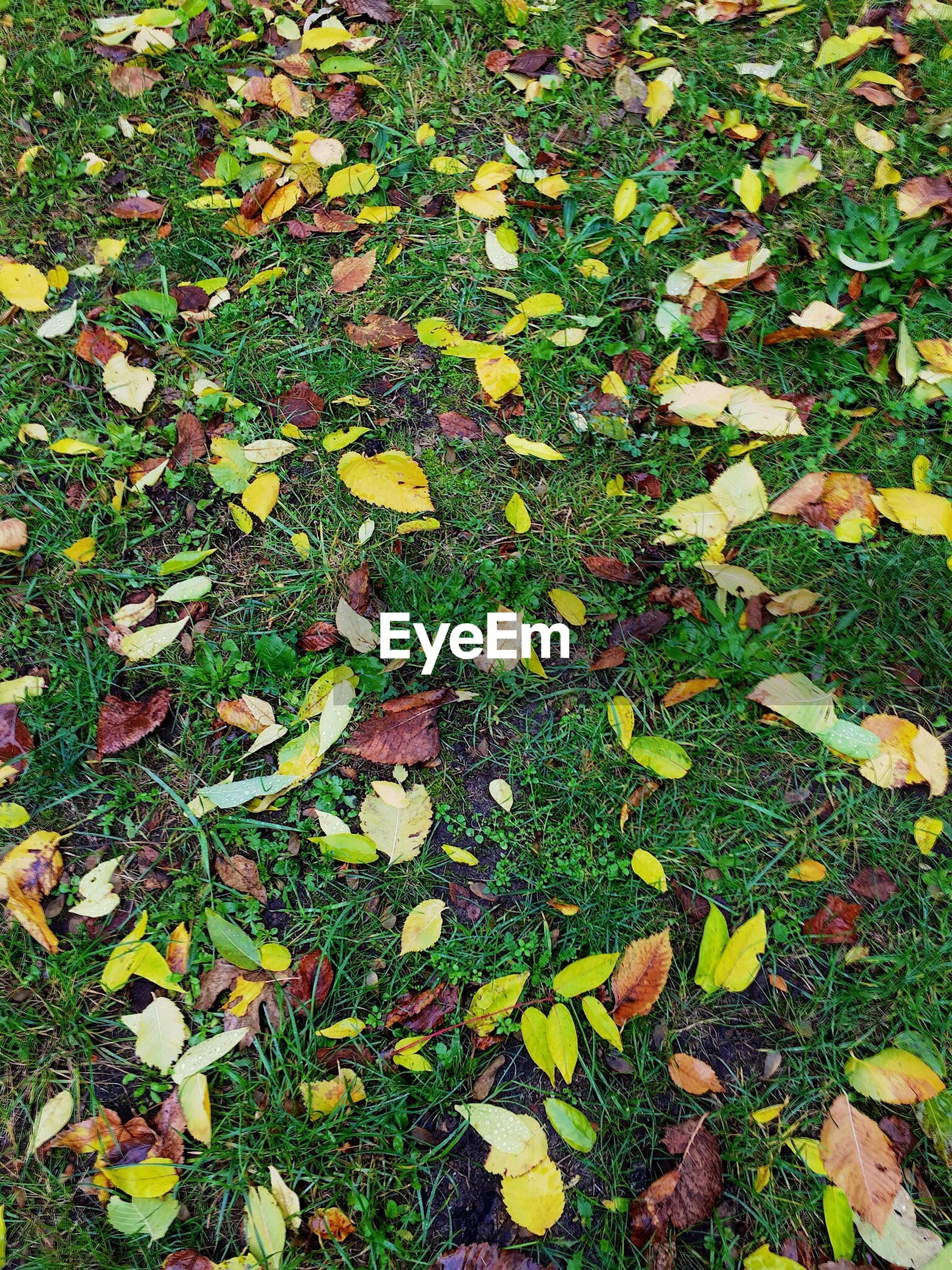 leaf, season, autumn, change, high angle view, grass, leaves, fallen, tranquility, falling, dry, nature, field, full frame, day, fragility, green color, grassy, maple leaf, growth, outdoors, beauty in nature, group of objects, abundance, large group of objects, natural condition, tranquil scene, botany