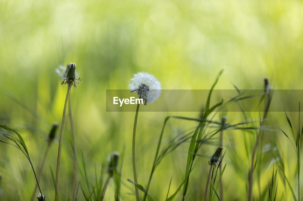 plant, growth, flower, flowering plant, fragility, vulnerability, beauty in nature, freshness, close-up, focus on foreground, green color, nature, no people, dandelion, day, plant stem, field, land, inflorescence, selective focus, flower head, outdoors, softness, dandelion seed