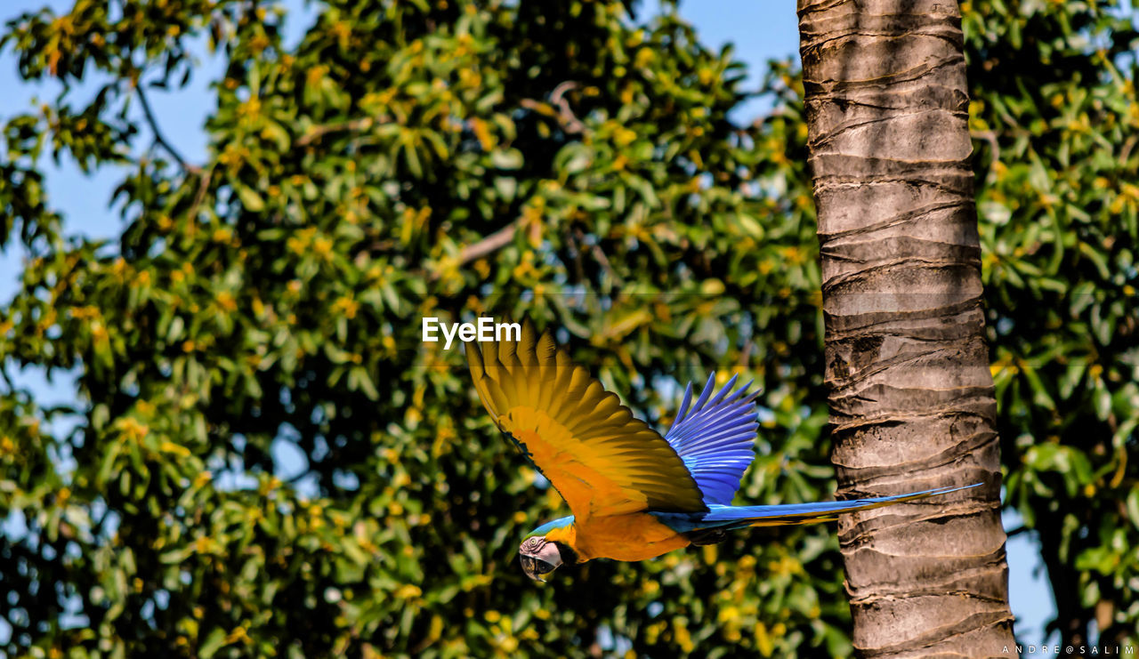 animals in the wild, animal wildlife, bird, tree, vertebrate, animal, animal themes, one animal, plant, flying, spread wings, focus on foreground, parrot, nature, day, macaw, no people, tree trunk, trunk, beauty in nature, outdoors