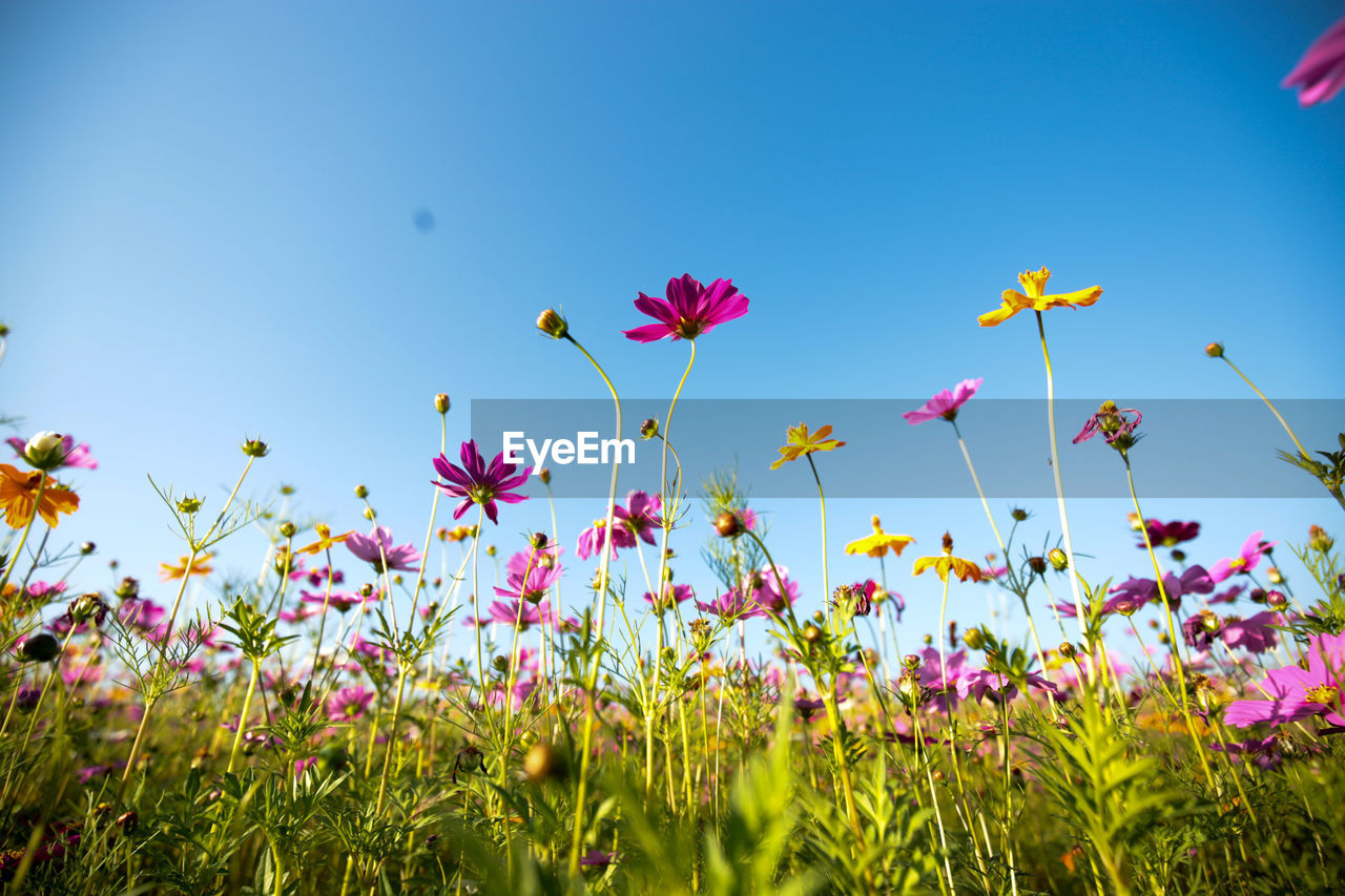 flower, plant, flowering plant, growth, sky, beauty in nature, freshness, fragility, vulnerability, land, field, nature, day, no people, close-up, pink color, clear sky, petal, blue, sunlight, outdoors, flower head, purple