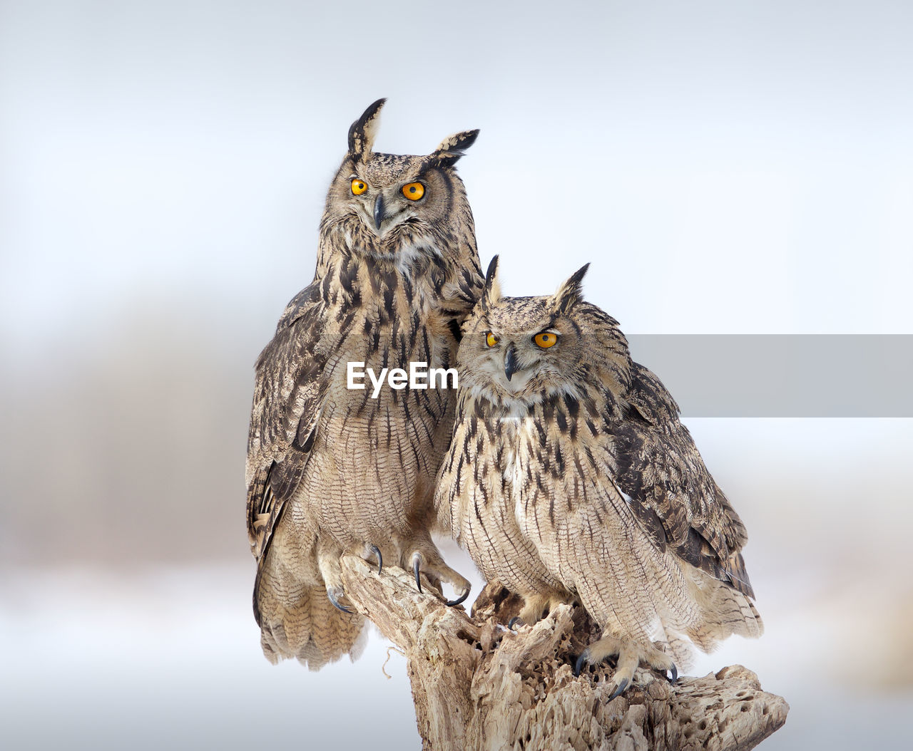 Close-Up Of Two Owls Against Blurred Background