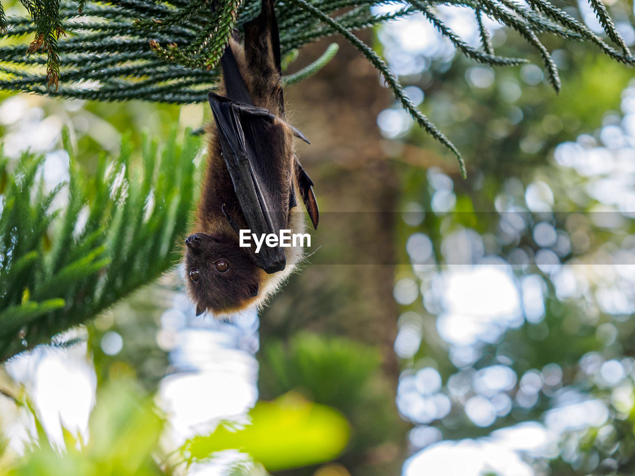 Low Angle View Of Fruit Bat Hanging From Tree