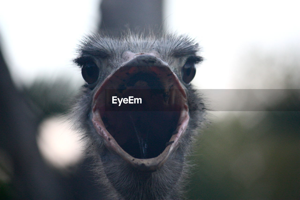 Close-Up Of Ostrich