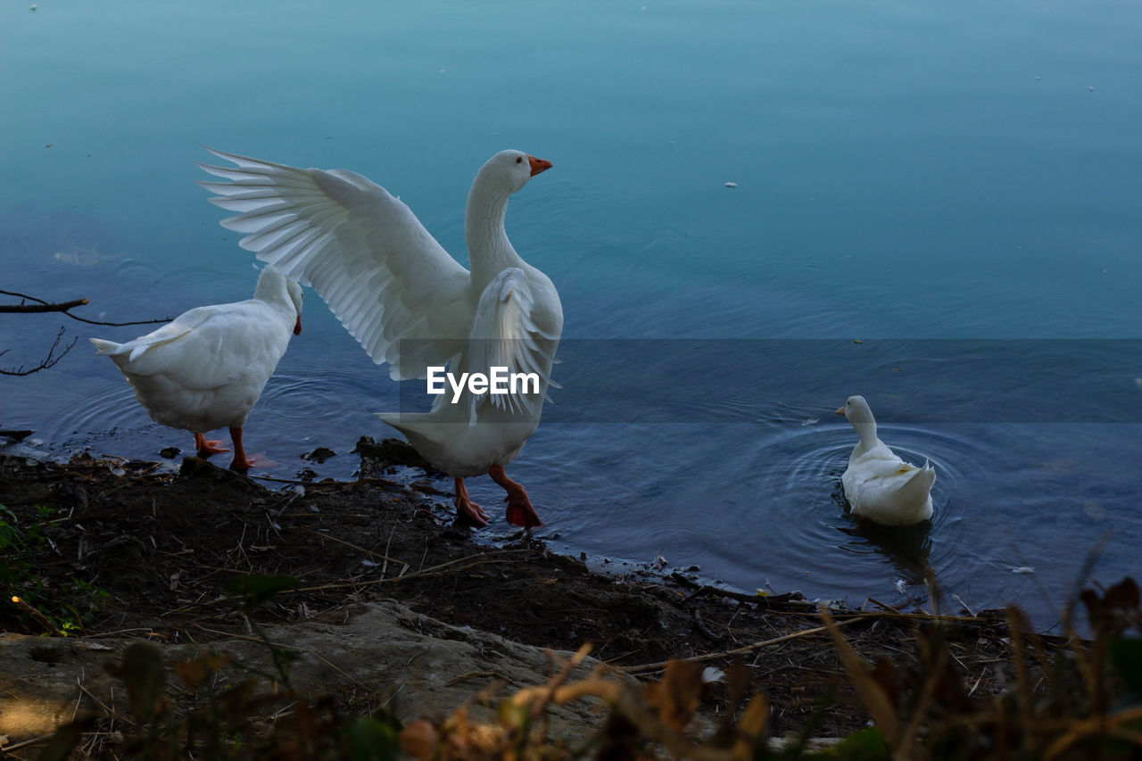 bird, vertebrate, animals in the wild, animal themes, animal, animal wildlife, group of animals, water, lake, white color, swan, nature, spread wings, two animals, no people, water bird, day, flying, zoology, animal family
