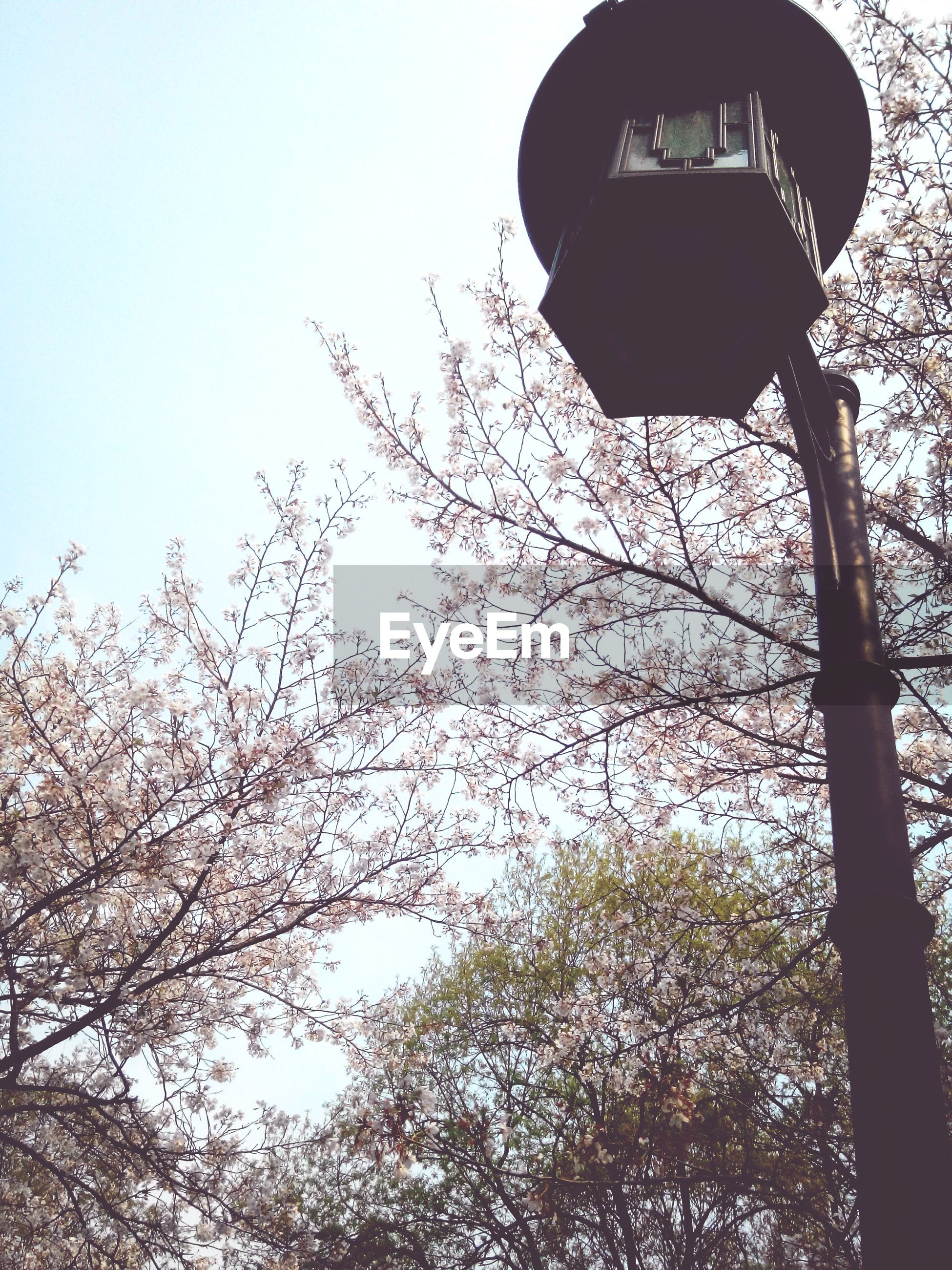 low angle view, tree, clear sky, branch, sky, growth, nature, bare tree, street light, day, outdoors, beauty in nature, flower, no people, tranquility, lighting equipment, leaf, park - man made space, tree trunk, silhouette