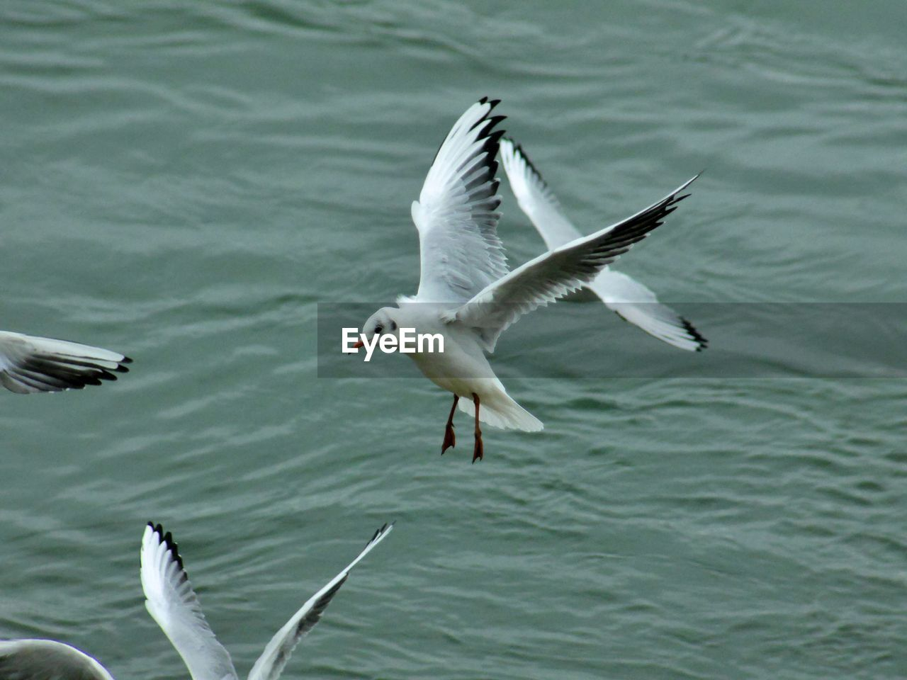 animals in the wild, animal wildlife, bird, animal themes, vertebrate, flying, animal, water, spread wings, group of animals, no people, nature, seagull, two animals, day, mid-air, sea, waterfront, flapping