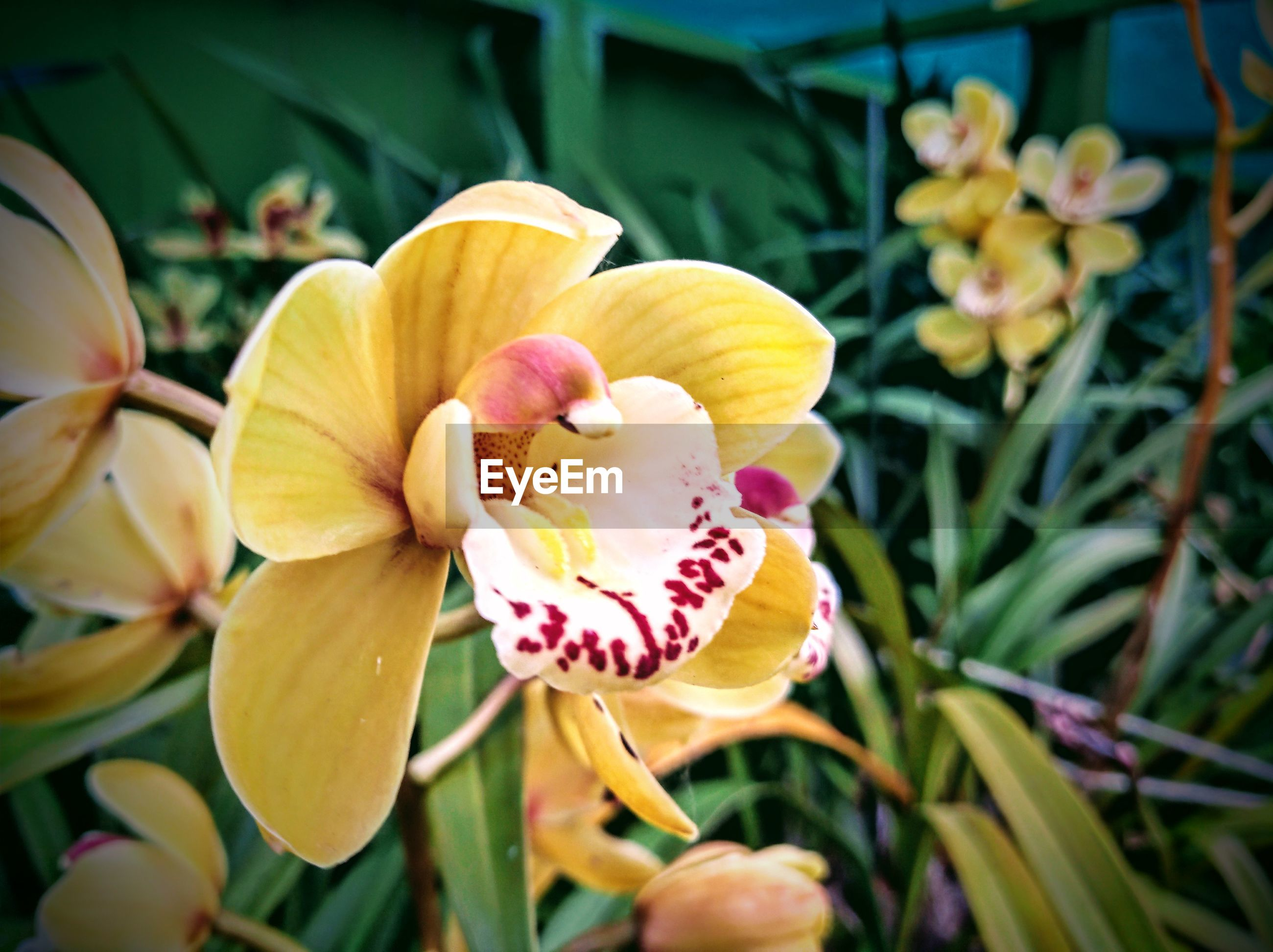 CLOSE-UP OF YELLOW ORCHIDS IN BLOOM