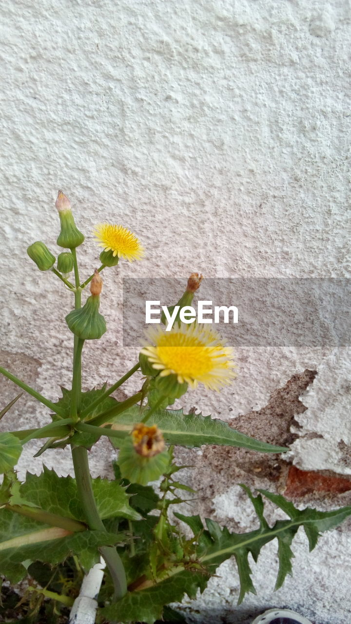 plant, flowering plant, flower, growth, freshness, beauty in nature, nature, vulnerability, wall - building feature, close-up, no people, fragility, plant part, petal, inflorescence, flower head, leaf, day, wall, yellow, outdoors