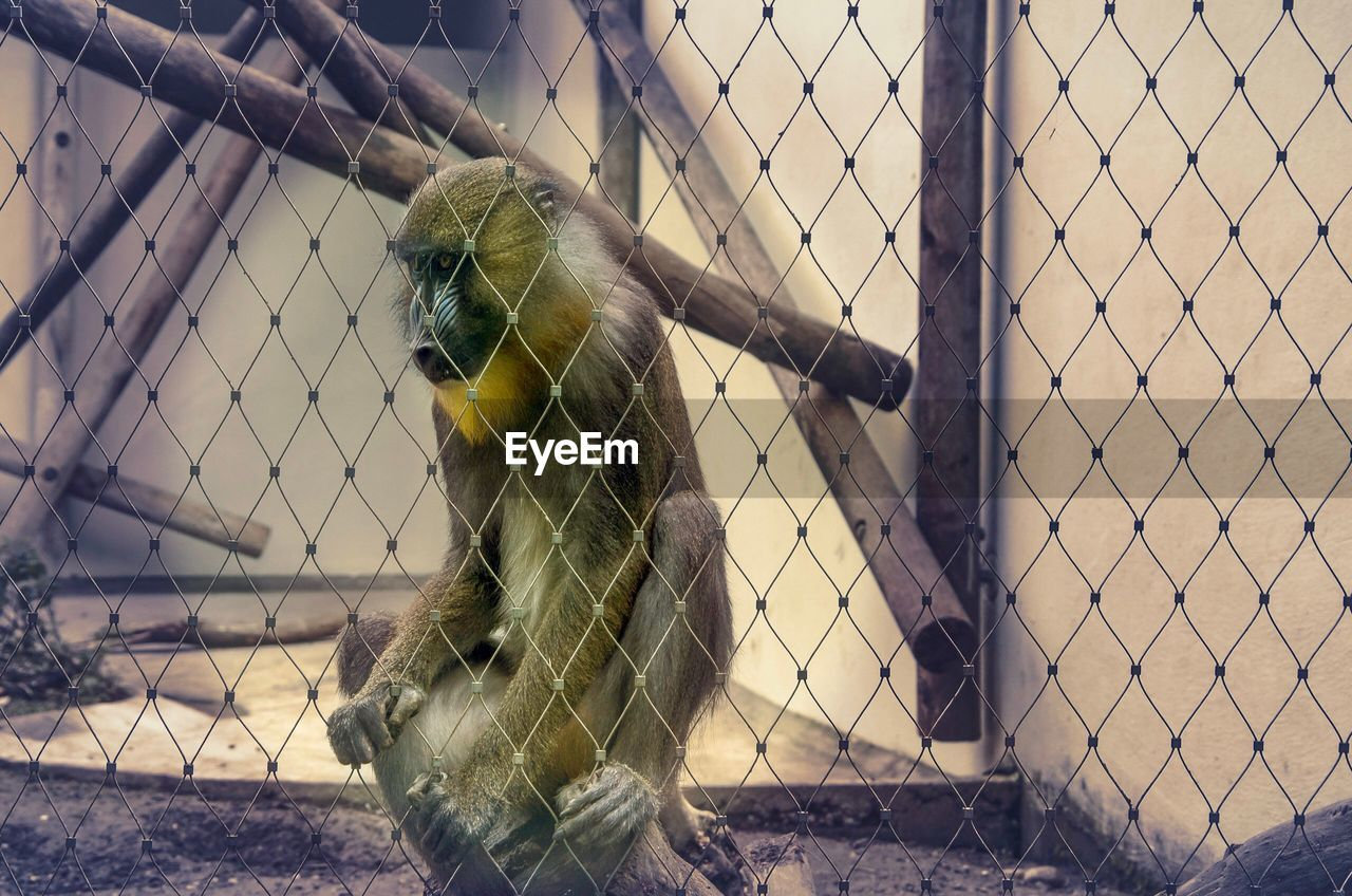 cage, animal themes, animal, one animal, animals in captivity, fence, vertebrate, animal wildlife, chainlink fence, no people, zoo, protection, boundary, security, trapped, barrier, animals in the wild, mammal, metal, safety, outdoors