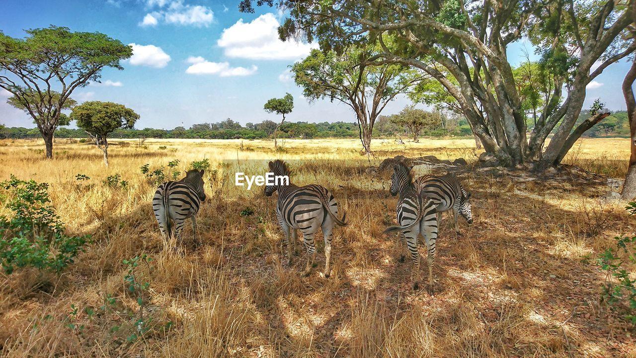 plant, tree, field, group of animals, animal, sky, land, mammal, animal themes, nature, grass, zebra, day, animals in the wild, animal wildlife, no people, striped, growth, vertebrate, environment, outdoors, herbivorous, herd