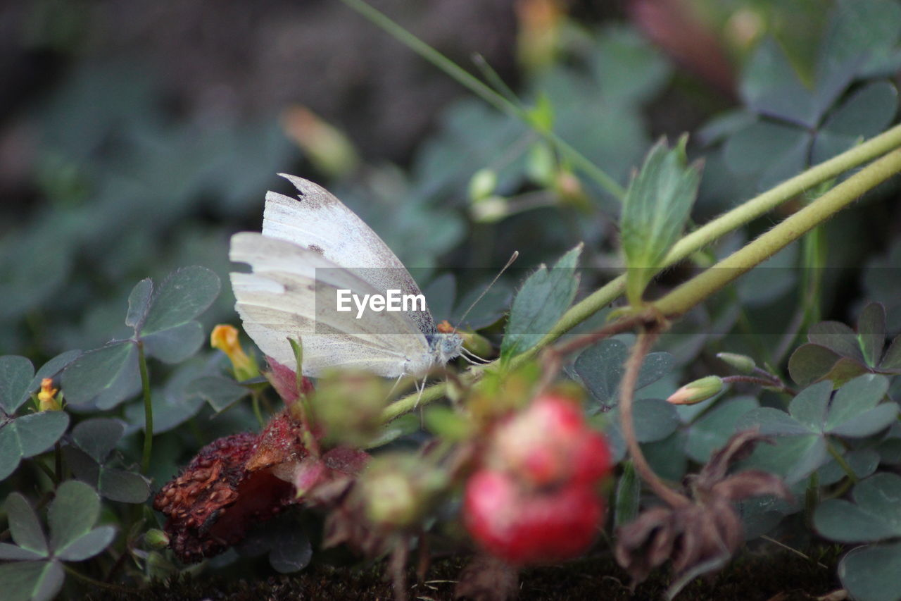leaf, plant part, plant, growth, beauty in nature, close-up, selective focus, nature, no people, day, freshness, fragility, vulnerability, flower, green color, fruit, outdoors, food, healthy eating, flowering plant, butterfly - insect