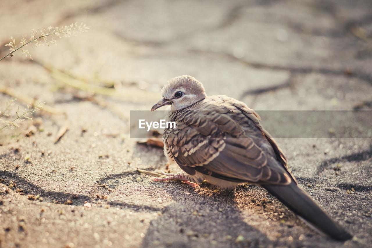 CLOSE-UP OF BIRD PERCHING ON A FIELD