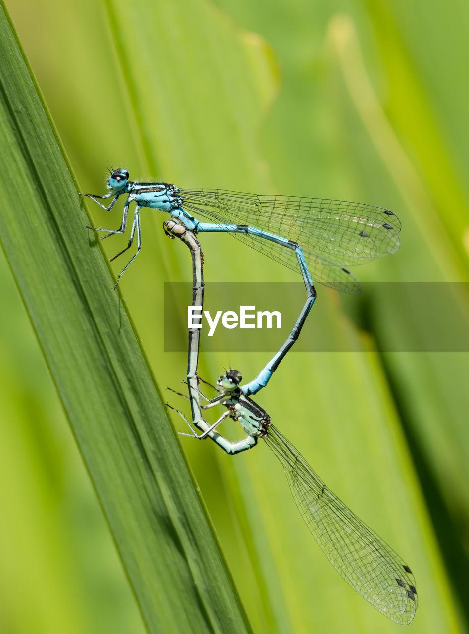 Damselflies mating on grass