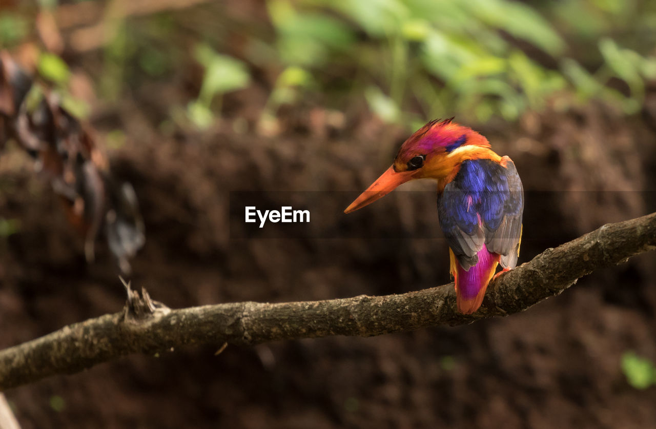 animals in the wild, bird, animal themes, animal, vertebrate, one animal, animal wildlife, branch, tree, kingfisher, perching, focus on foreground, no people, day, nature, close-up, plant, selective focus, beak, outdoors