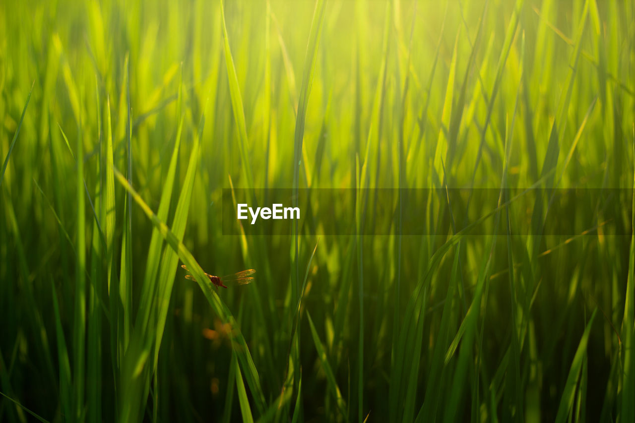 growth, plant, green color, beauty in nature, grass, nature, field, land, close-up, day, no people, tranquility, selective focus, cereal plant, crop, agriculture, full frame, landscape, rural scene, outdoors, blade of grass