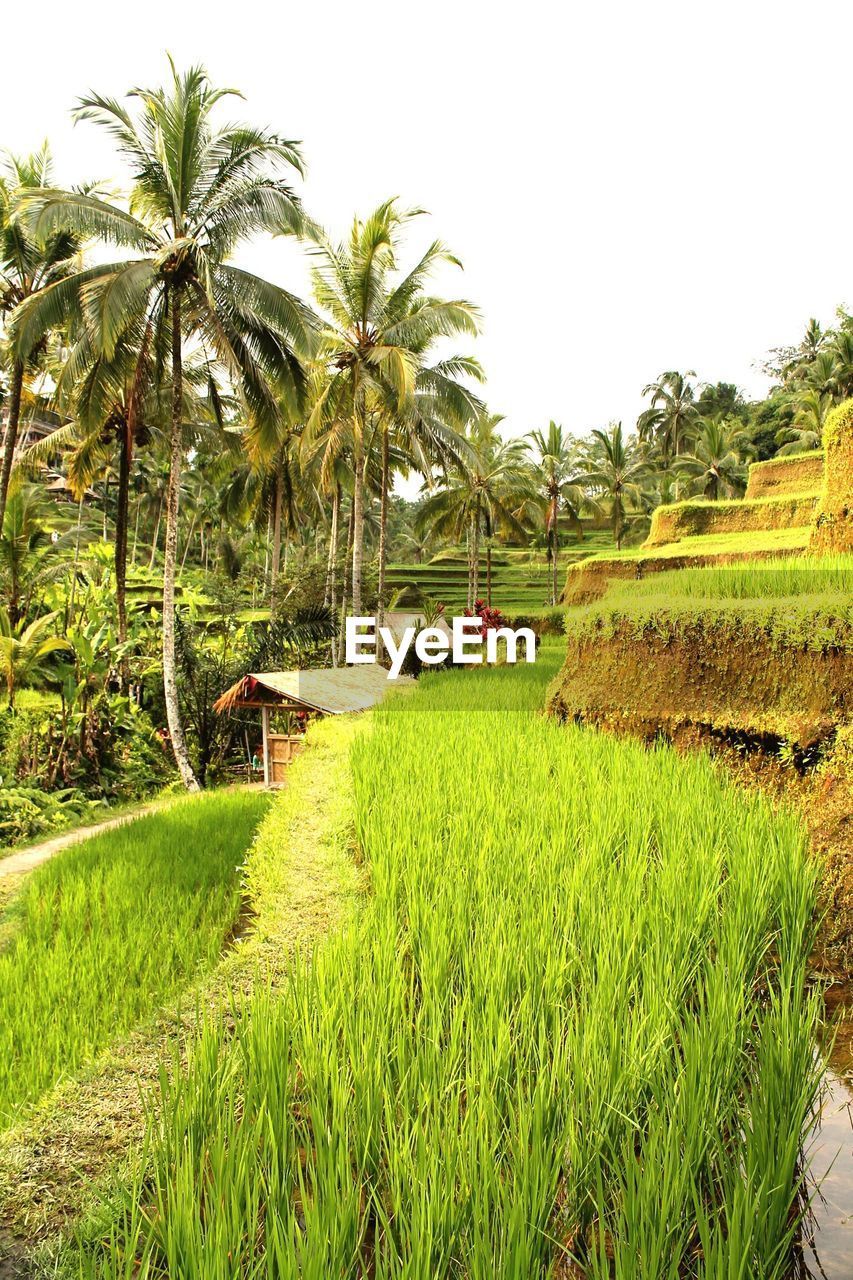 palm tree, tree, rice paddy, tranquility, tranquil scene, grass, growth, field, nature, scenics, rice - cereal plant, beauty in nature, no people, day, outdoors, banana tree, green color, agriculture, landscape, water, clear sky, terraced field, sky