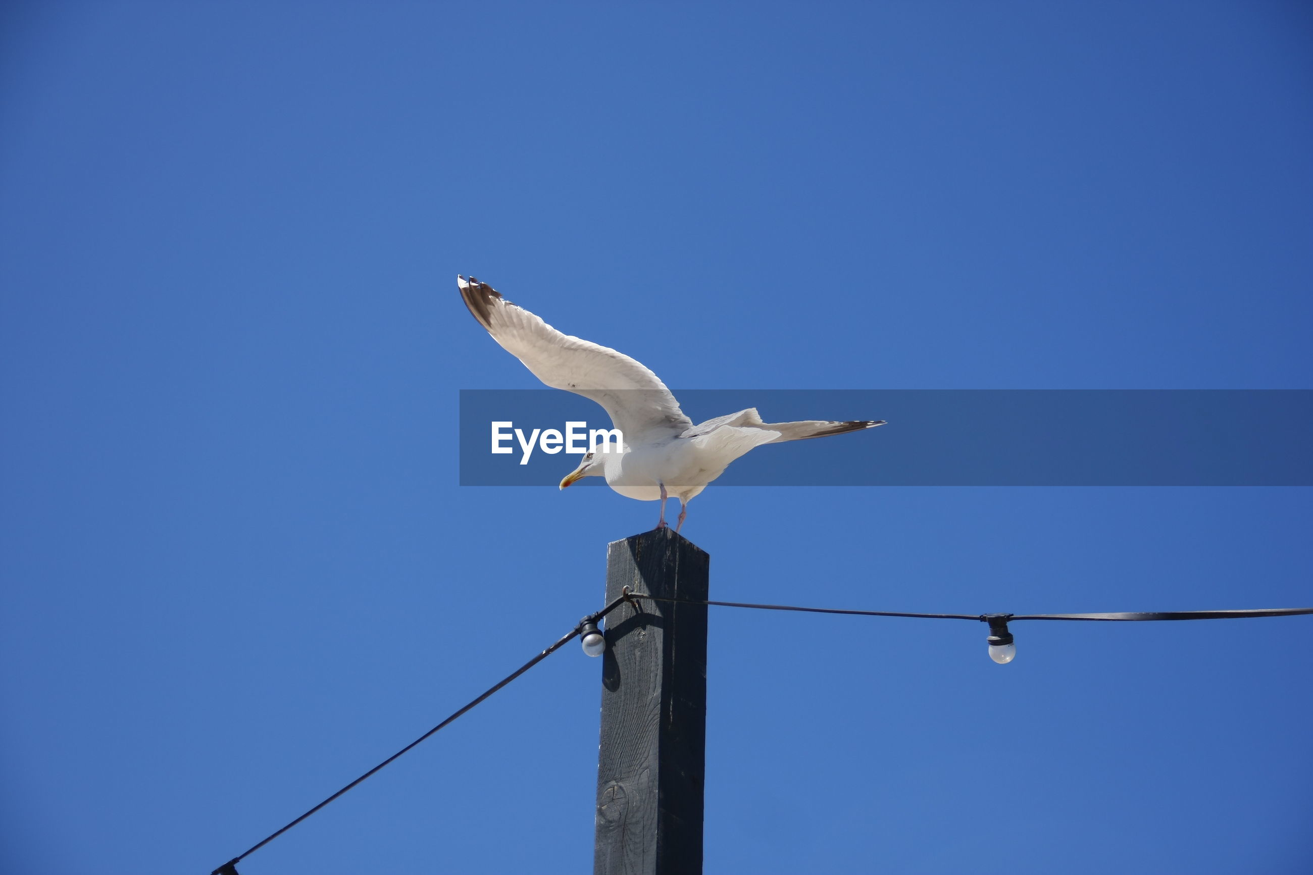 Low angle view of seagull perching on wooden post against clear sky