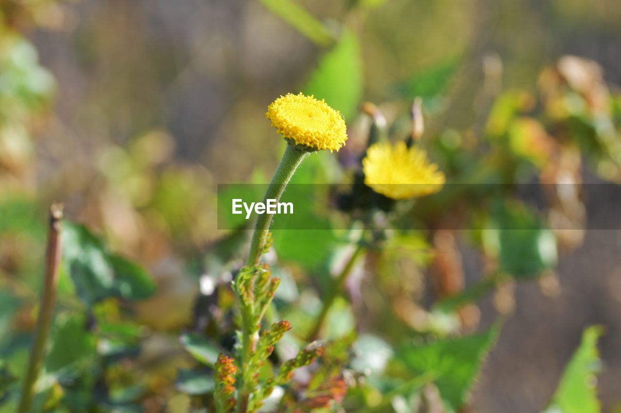 growth, flower, flowering plant, plant, freshness, beauty in nature, vulnerability, fragility, yellow, close-up, flower head, inflorescence, nature, day, petal, focus on foreground, selective focus, field, no people, botany, outdoors, springtime