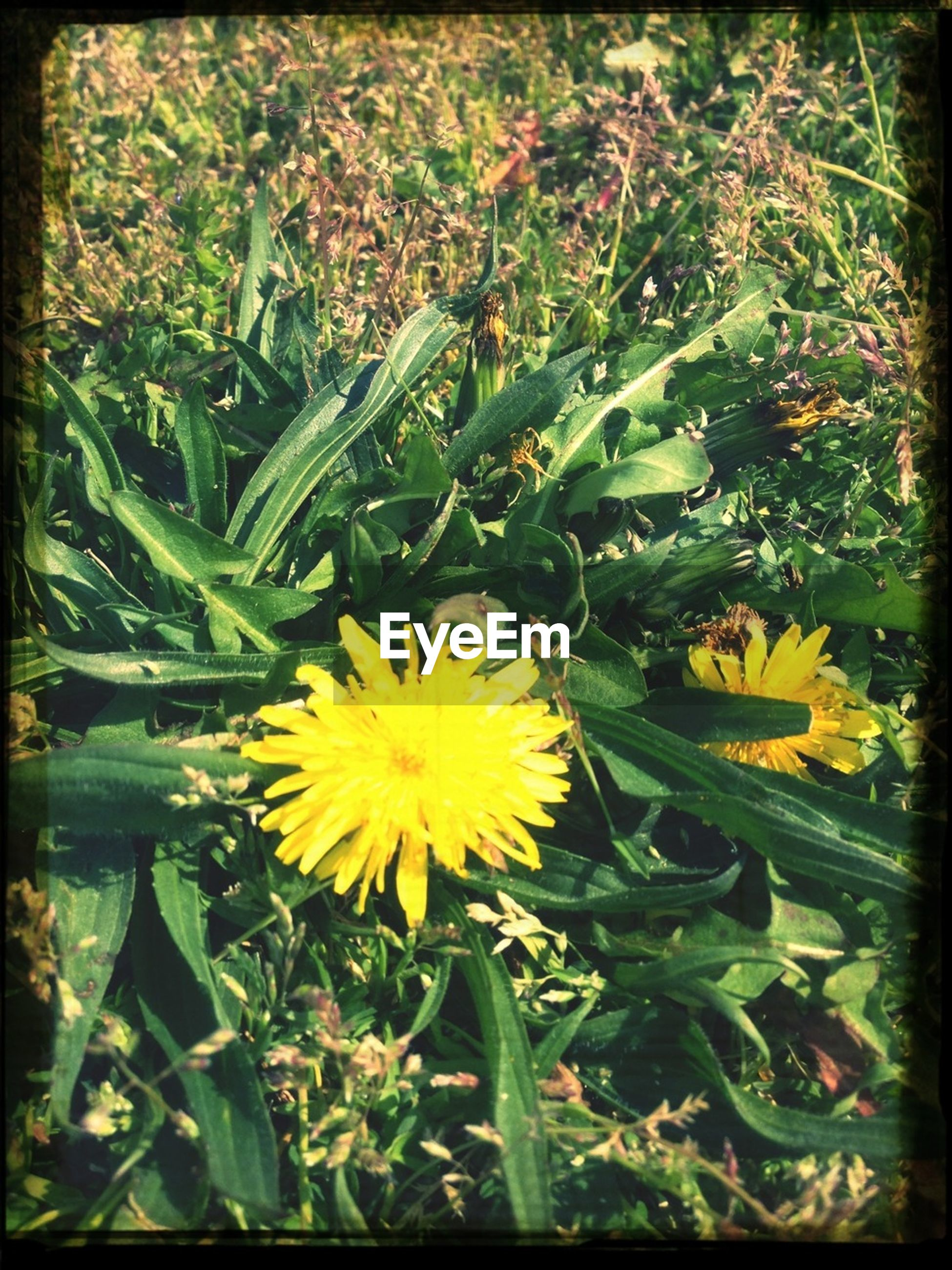 flower, yellow, freshness, growth, fragility, petal, flower head, beauty in nature, plant, blooming, nature, leaf, transfer print, field, green color, close-up, in bloom, auto post production filter, focus on foreground, day