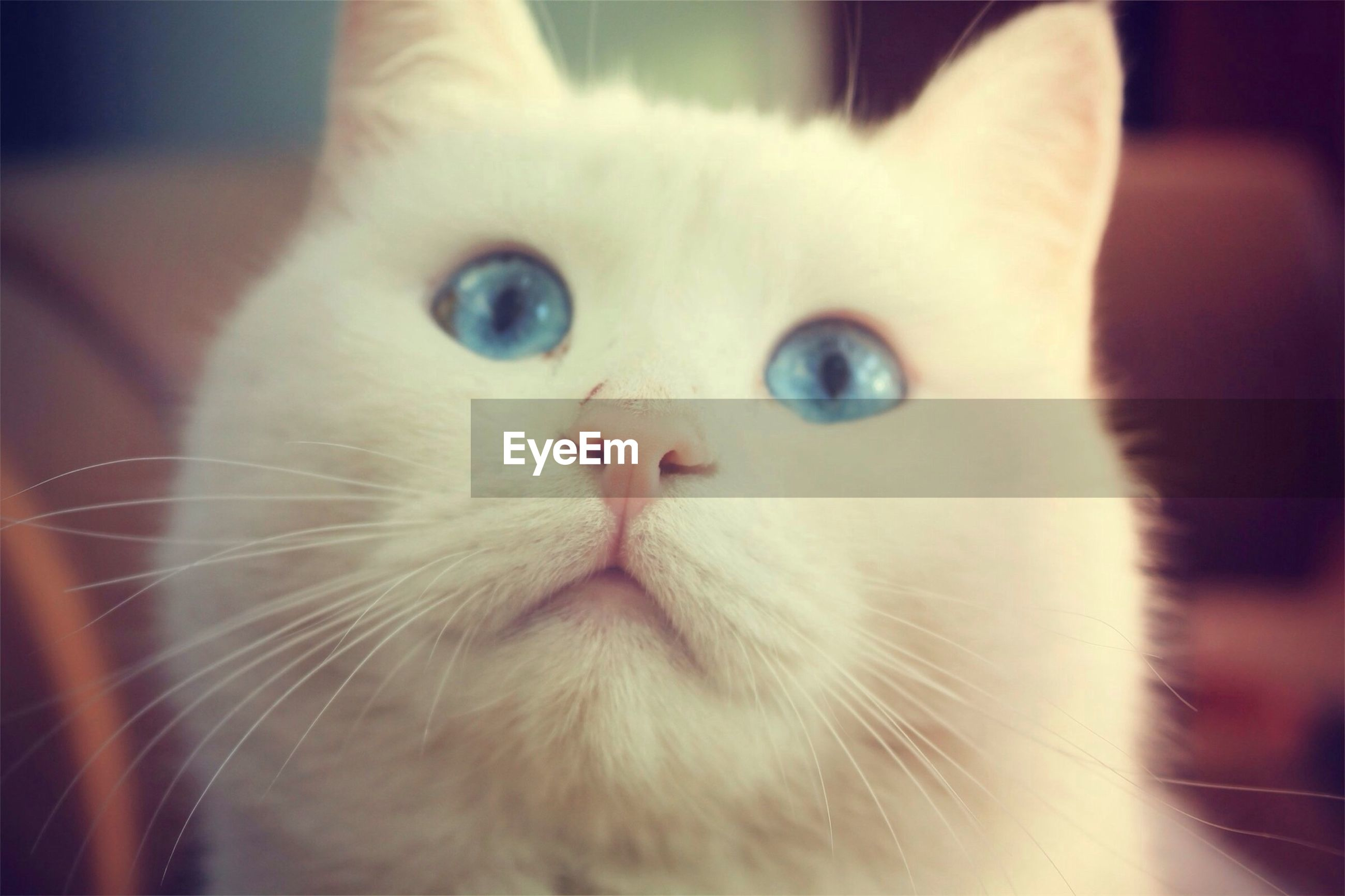 domestic cat, pets, domestic animals, cat, one animal, animal themes, indoors, feline, mammal, whisker, close-up, animal head, portrait, looking at camera, animal eye, focus on foreground, animal body part, white color, home interior, no people