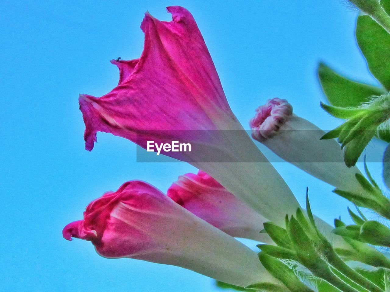flowering plant, flower, vulnerability, fragility, petal, beauty in nature, plant, freshness, close-up, pink color, nature, growth, inflorescence, no people, flower head, day, leaf, plant part, blue, outdoors, soft focus, focus, sepal
