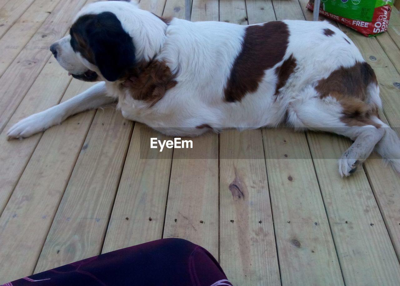 dog, pets, hardwood floor, domestic animals, puppy, one animal, mammal, indoors, animal themes, no people, beagle, close-up, day