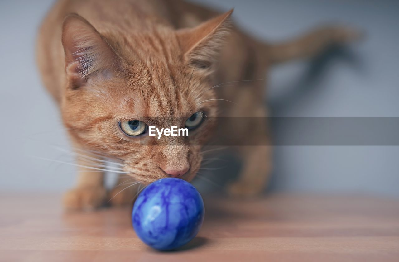mammal, pets, domestic, animal themes, domestic animals, animal, cat, domestic cat, feline, one animal, ball, focus on foreground, indoors, vertebrate, close-up, sphere, no people, table, sport, looking, whisker, animal head