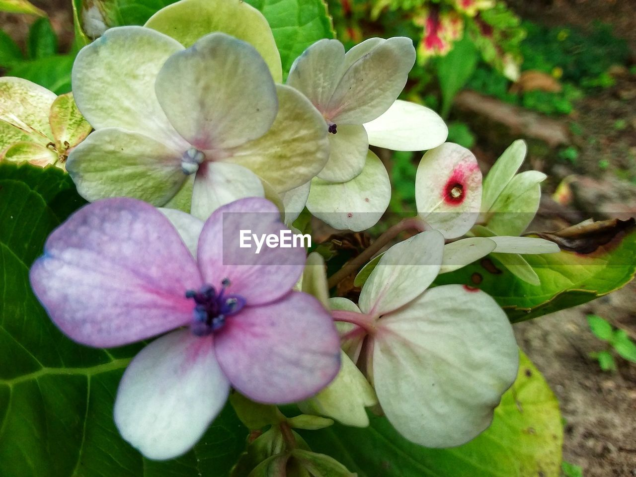 flower, flowering plant, plant, fragility, vulnerability, petal, beauty in nature, growth, close-up, freshness, flower head, inflorescence, nature, white color, no people, day, plant part, leaf, pink color, outdoors, pollen, purple