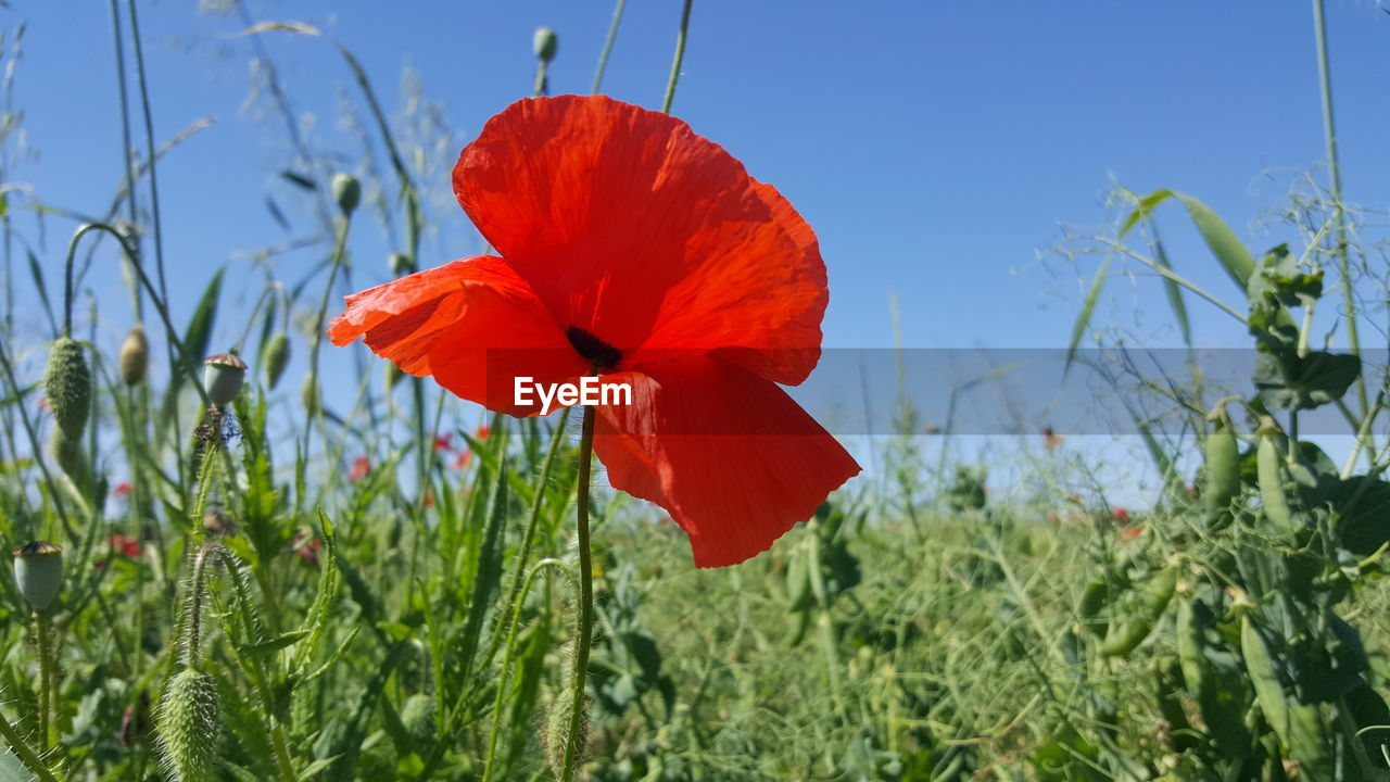 plant, flower, flowering plant, beauty in nature, fragility, growth, vulnerability, freshness, petal, red, flower head, close-up, inflorescence, nature, poppy, focus on foreground, sky, field, day, no people, outdoors, orange