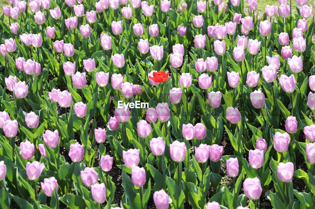 flowering plant, flower, plant, vulnerability, beauty in nature, freshness, fragility, growth, petal, full frame, backgrounds, close-up, no people, land, field, nature, flower head, inflorescence, pink color, day, springtime, flowerbed, tulip, purple, outdoors, gardening