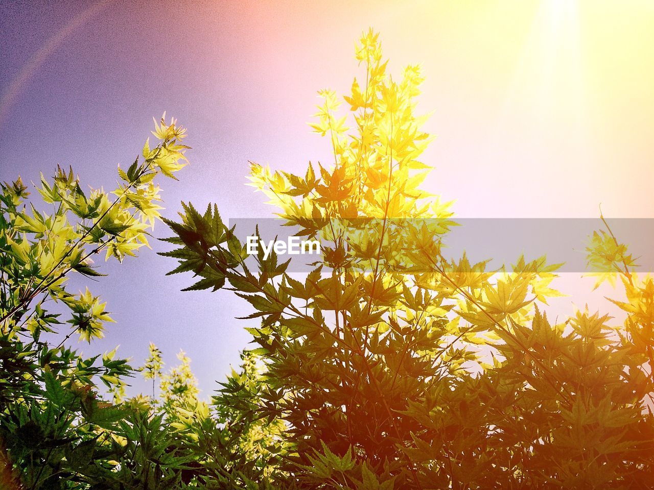 nature, growth, beauty in nature, lens flare, sky, clear sky, flower, sun, sunlight, plant, low angle view, outdoors, no people, tree, yellow, tranquility, day, freshness, sunshine, close-up