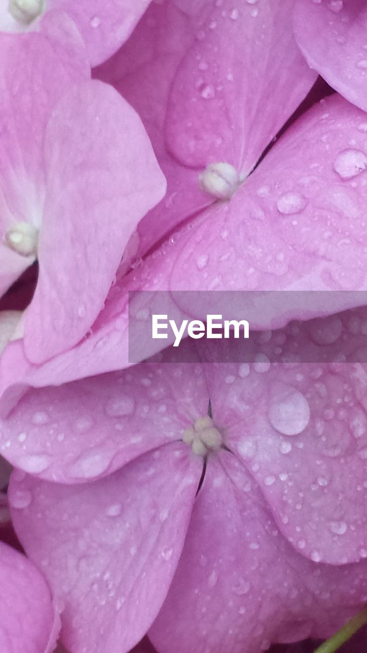 pink color, drop, full frame, backgrounds, petal, beauty in nature, growth, nature, wet, no people, close-up, fragility, flower, day, outdoors, raindrop, freshness, plant, water, flower head, periwinkle