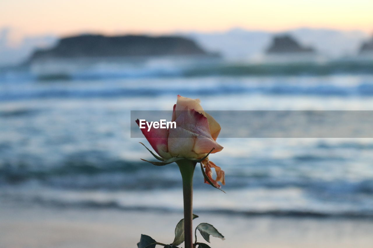 beauty in nature, flower, vulnerability, flowering plant, fragility, nature, water, freshness, inflorescence, plant, petal, close-up, focus on foreground, sunset, flower head, rose - flower, rose, sea, no people, outdoors