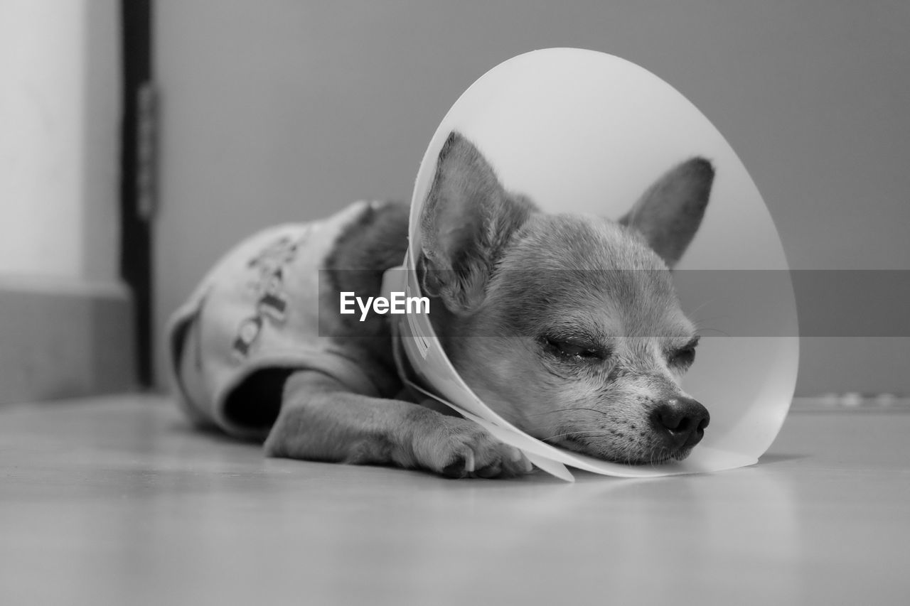 Chihuahua With Protective Collar Resting On Floor