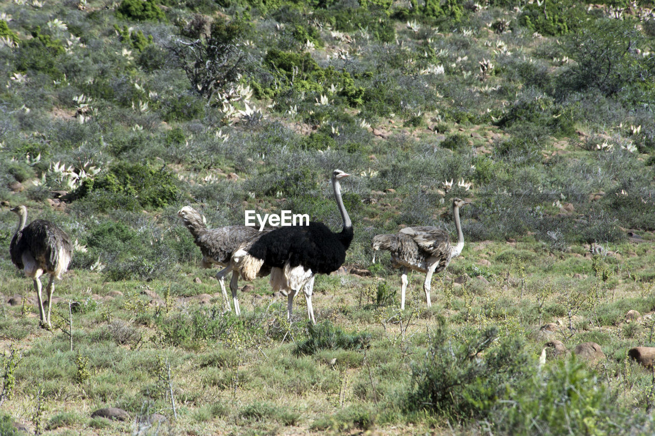 Ostriches standing on grassy field
