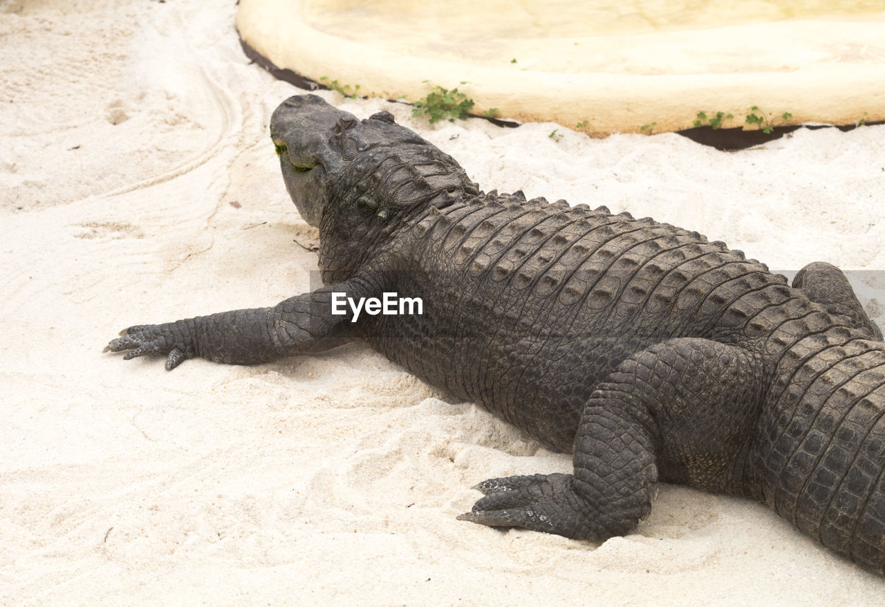 High angle view of alligator at sandy beach