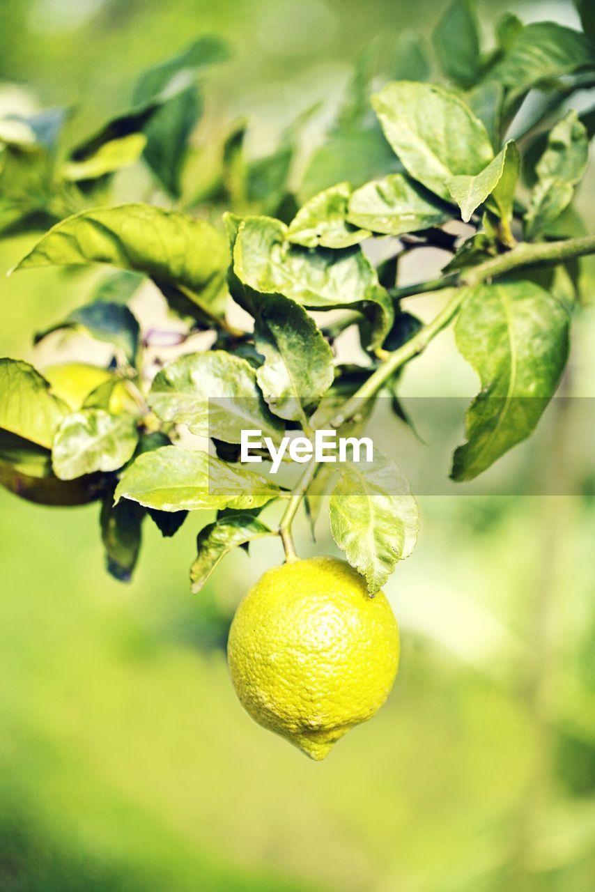 Close-Up View Of Lemon