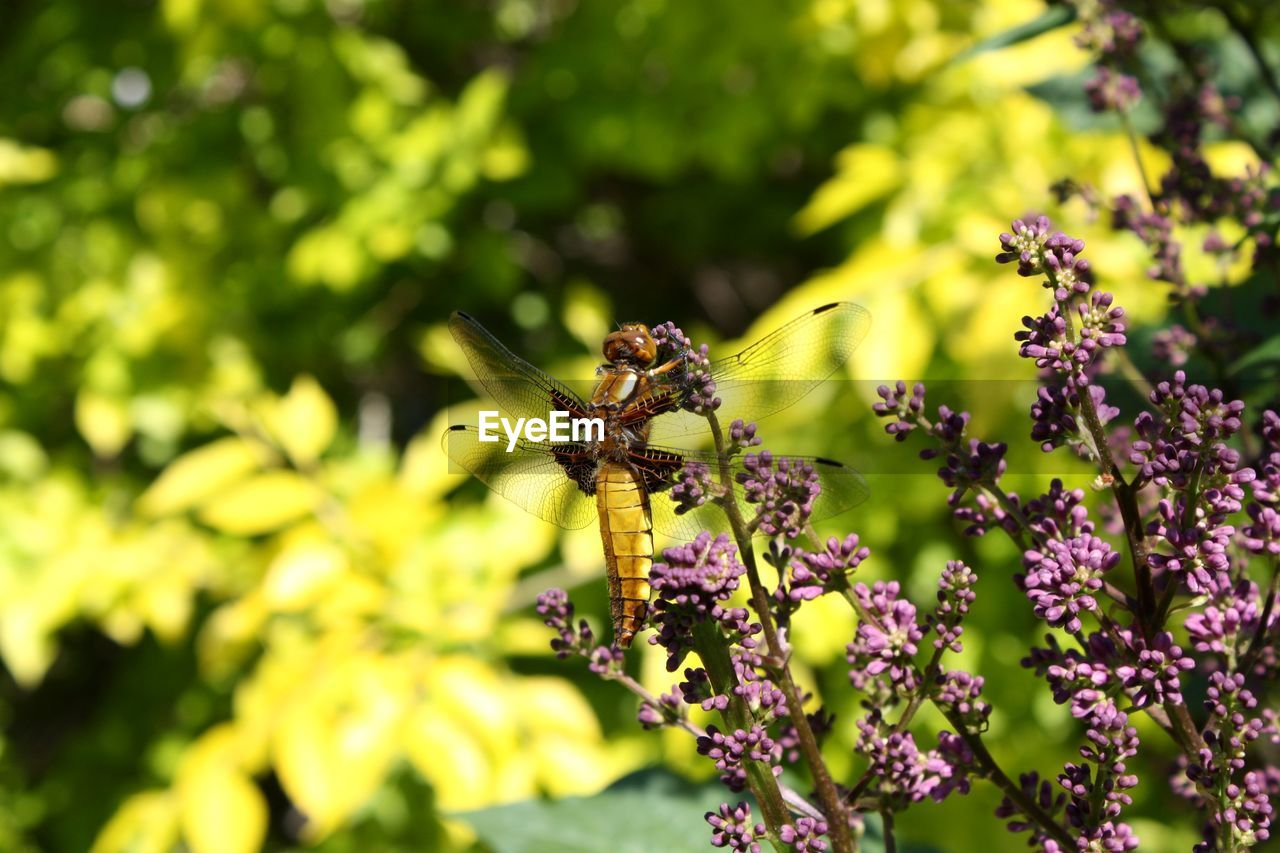 insect, invertebrate, animals in the wild, animal themes, animal wildlife, one animal, animal, flower, plant, flowering plant, beauty in nature, growth, vulnerability, fragility, animal wing, day, close-up, no people, freshness, focus on foreground, flower head, pollination, outdoors, butterfly - insect, purple
