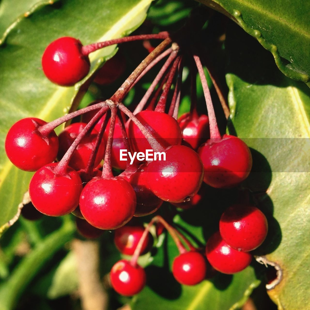 red, fruit, food and drink, growth, food, nature, tree, focus on foreground, close-up, no people, healthy eating, day, leaf, freshness, outdoors, branch, water, beauty in nature