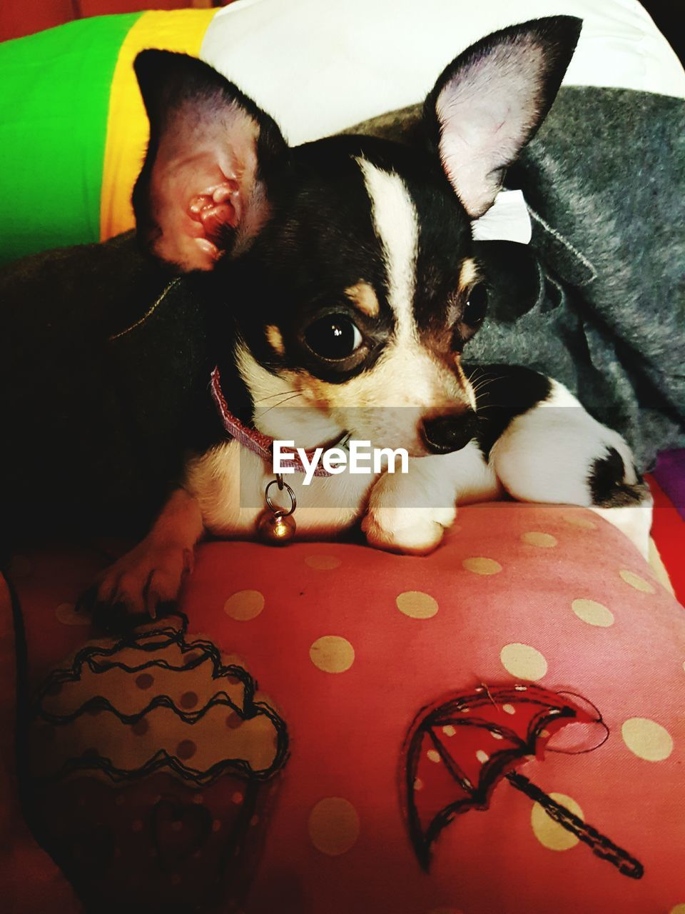 pets, animal themes, one animal, mammal, domestic animals, dog, indoors, chihuahua, close-up, home interior, bed, no people, boston terrier, day