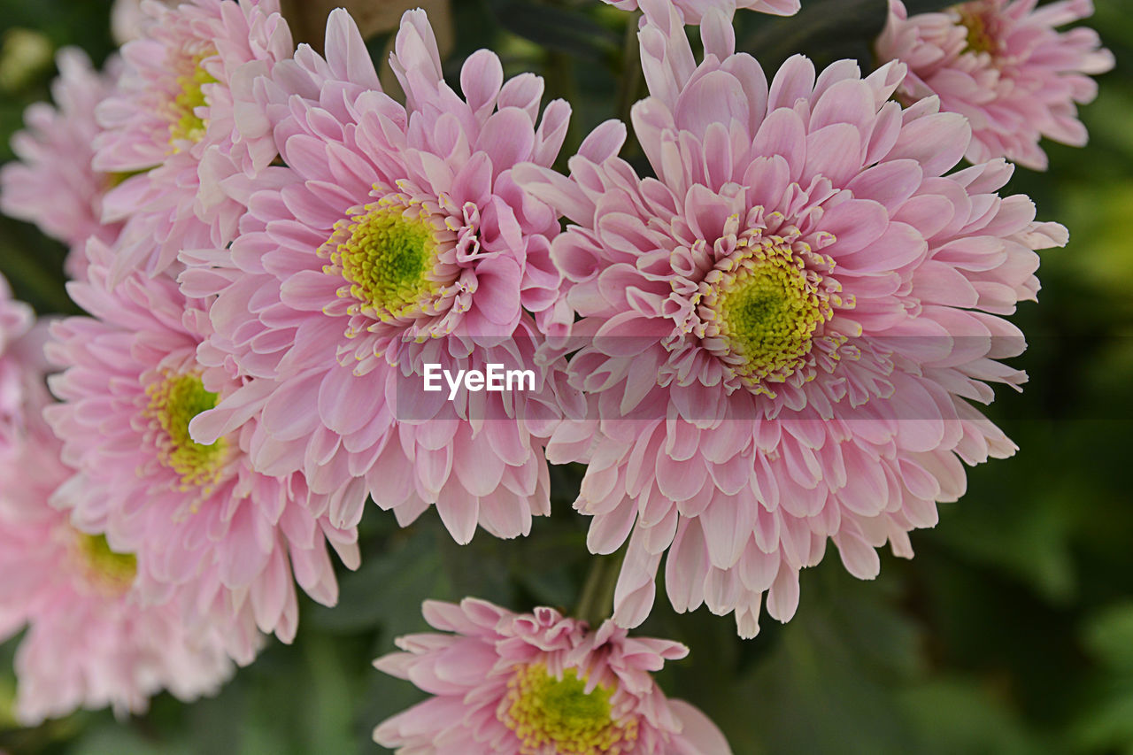 flowering plant, flower, fragility, freshness, vulnerability, plant, beauty in nature, petal, pink color, flower head, growth, close-up, inflorescence, focus on foreground, nature, day, no people, outdoors, botany, chrysanthemum