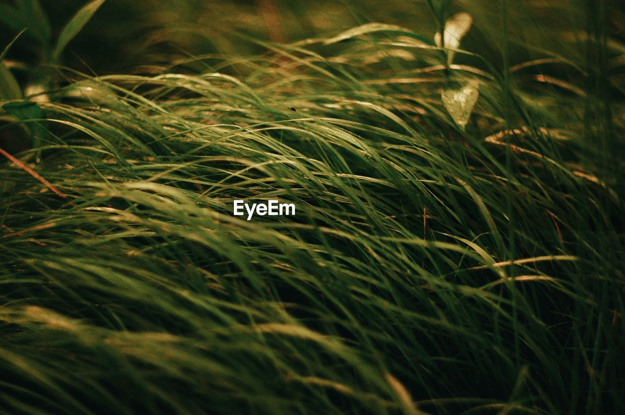 growth, plant, beauty in nature, nature, field, selective focus, land, close-up, green color, no people, full frame, tranquility, grass, day, backgrounds, outdoors, crop, cereal plant, agriculture, landscape, blade of grass