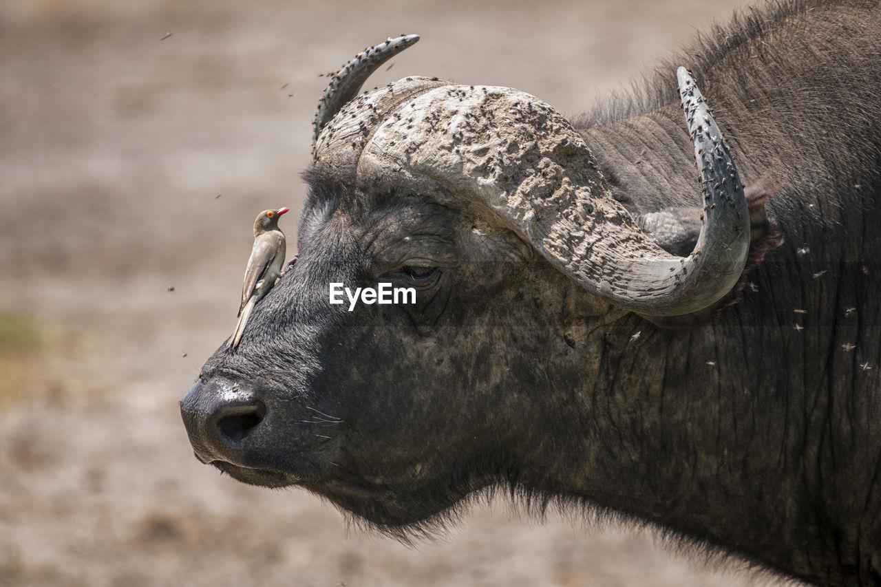 Bird perching on african buffalo