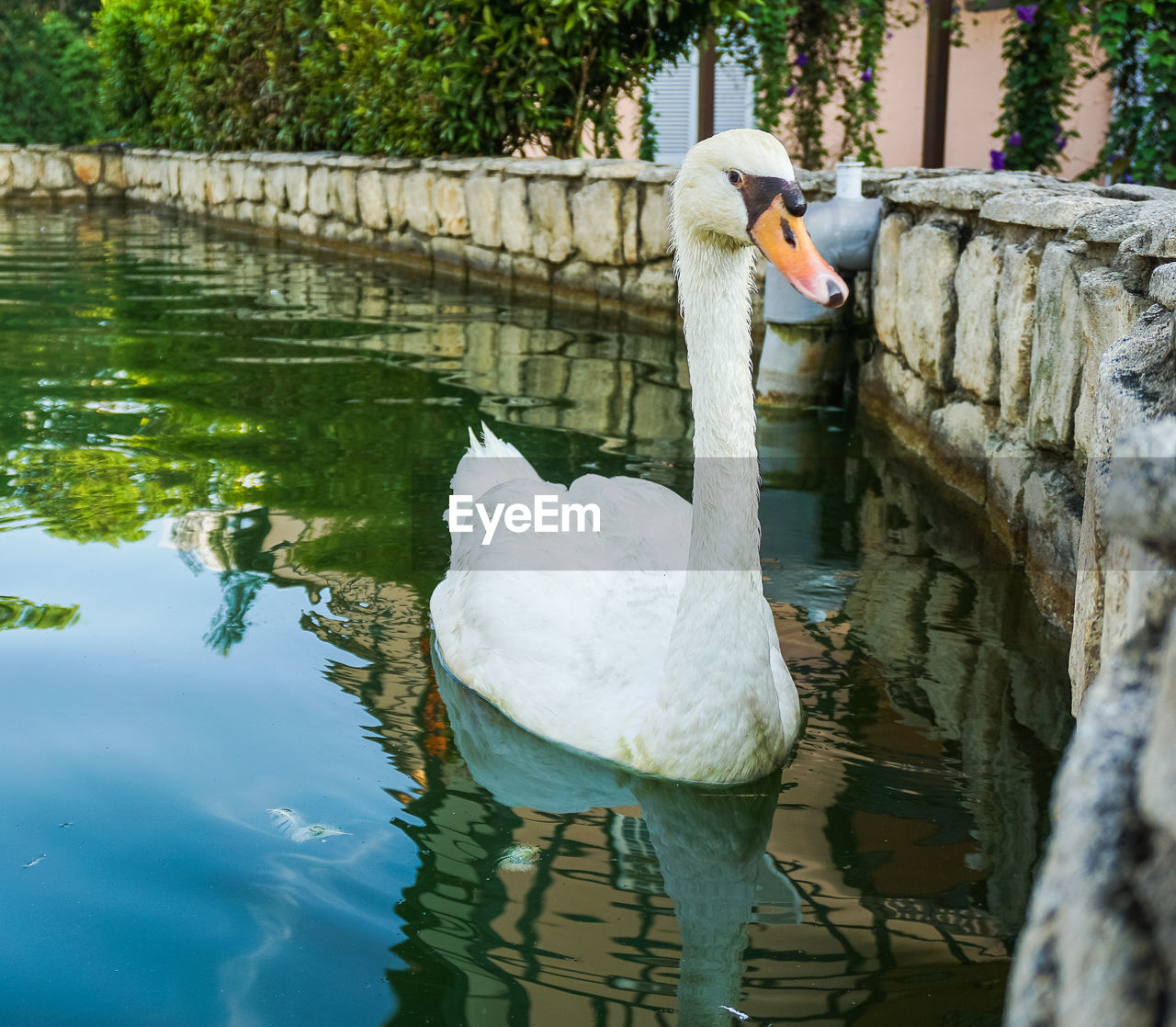 water, animal themes, animal wildlife, animals in the wild, reflection, bird, lake, animal, vertebrate, day, waterfront, nature, swan, swimming, one animal, water bird, white color, outdoors, one person