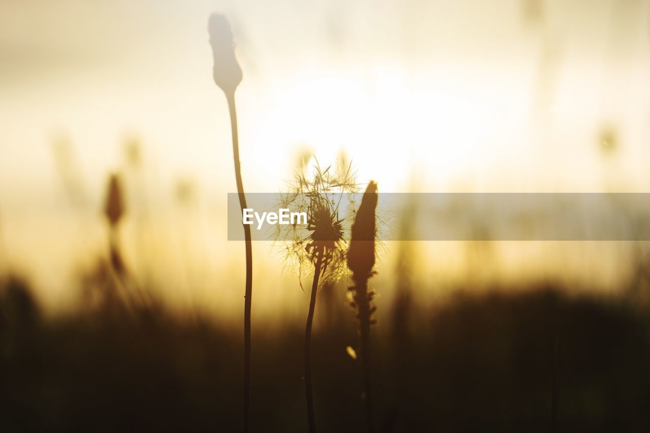 CLOSE-UP OF STALKS IN FIELD AGAINST SUNSET