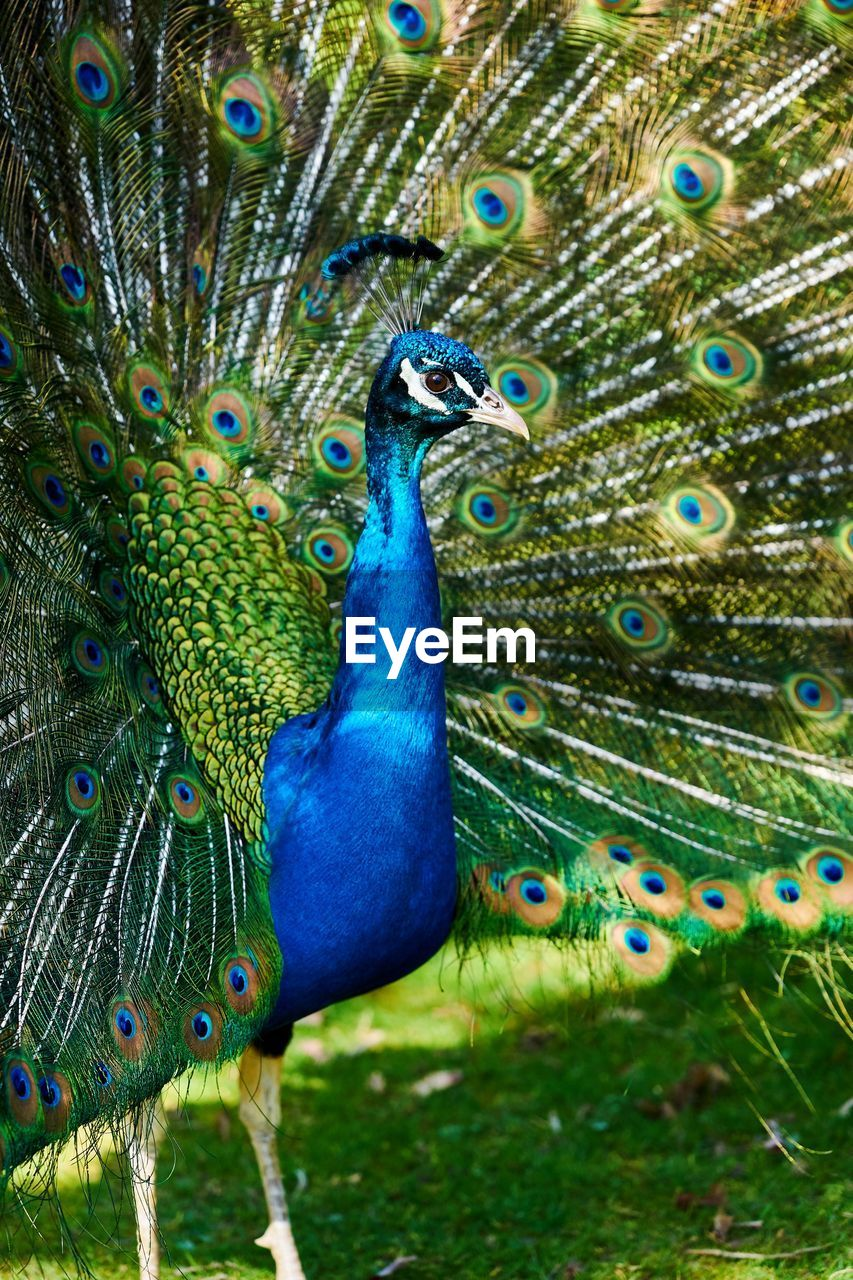 peacock, animal themes, animal, bird, animal wildlife, vertebrate, animals in the wild, one animal, peacock feather, feather, fanned out, beauty in nature, no people, blue, multi colored, green color, male animal, nature, day, close-up, outdoors, animal head, animal neck