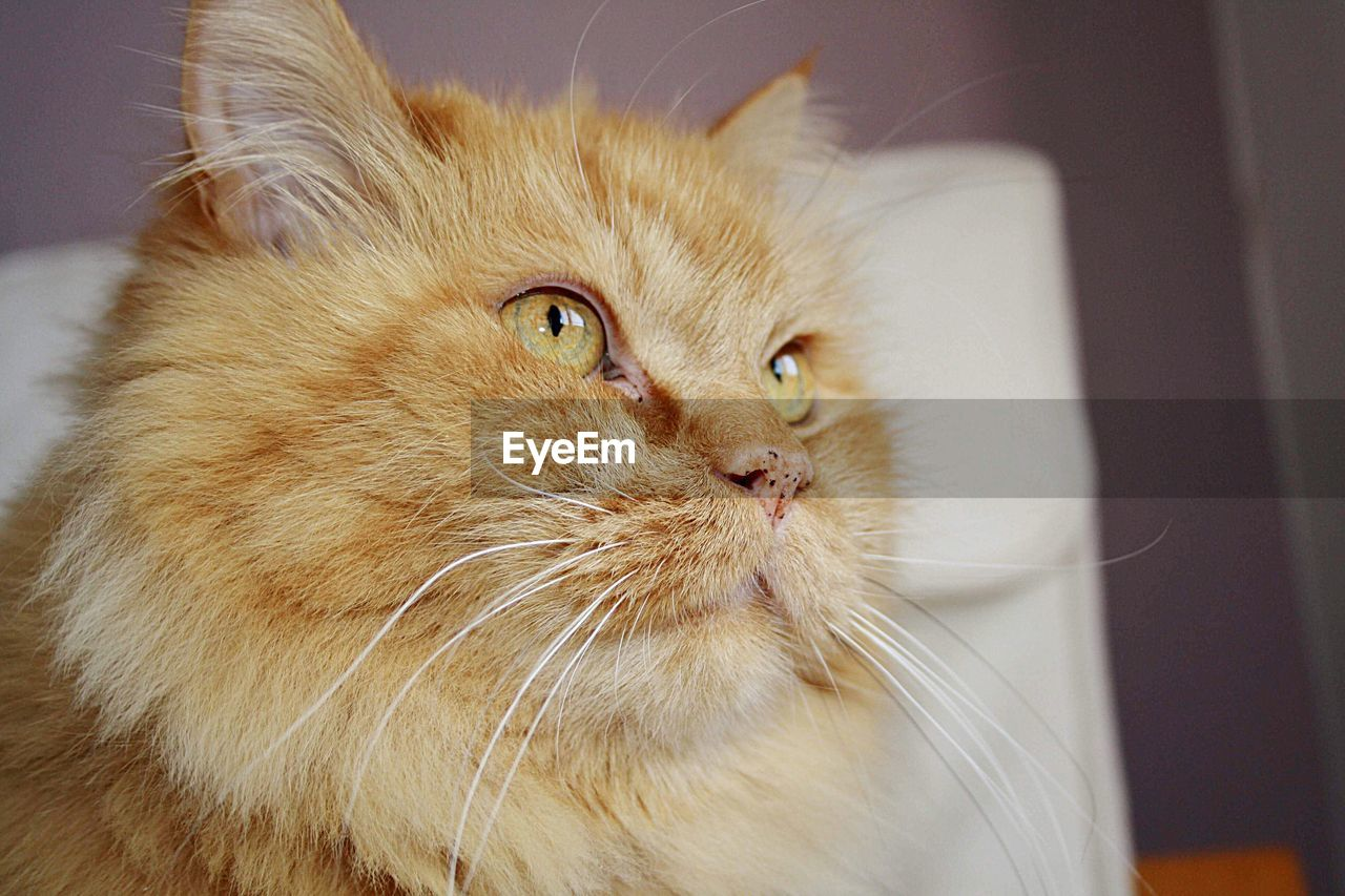 domestic, pets, mammal, cat, domestic animals, domestic cat, animal themes, animal, feline, whisker, one animal, vertebrate, indoors, close-up, no people, looking, looking away, home interior, persian cat, focus on foreground, animal head, maine coon cat, animal eye
