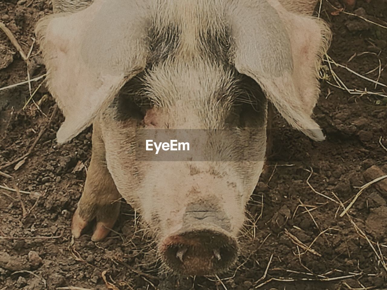 livestock, pig, animal themes, domestic animals, mammal, one animal, field, piglet, close-up, no people, day, outdoors, nature